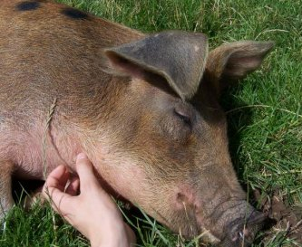 Dotty the pig enjoys a good scratch under the chin