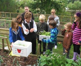 Harvesting beans in the kitchen garden