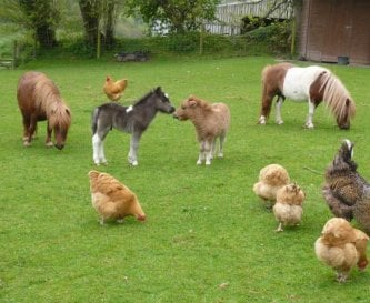 Meet our ponies and chickens