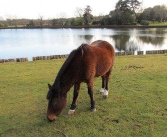 New Forest Pony by Beaulieu River